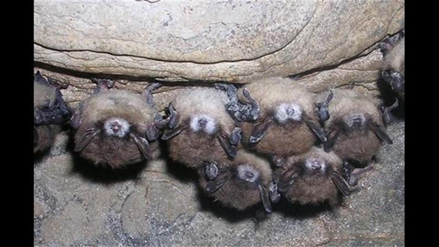 Bats with White-nose syndrome found in Arkansas