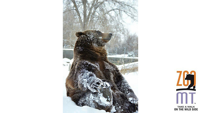ZooMontana Grizzly Bear to Predict Super Bowl 51