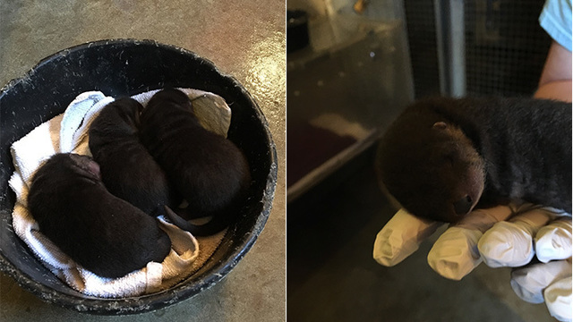 Three New River Otter Pups at ZooMontana