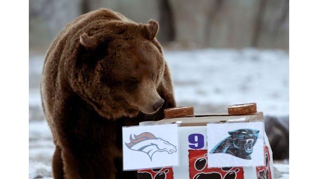ZooMontana Grizzly Bear to Predict Super Bowl 53
